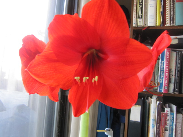 Name:  Amaryllis 4.JPG