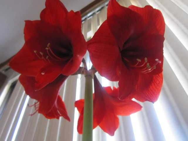 Name:  Amaryllis 5.JPG