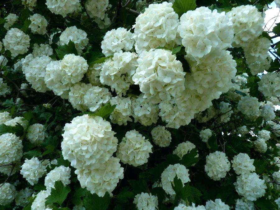 Name:  pom-pom-bush-pom-pom-bush-uk.jpg